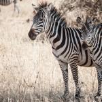 Tanzania_Safari-13