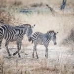 Tanzania_Safari-2